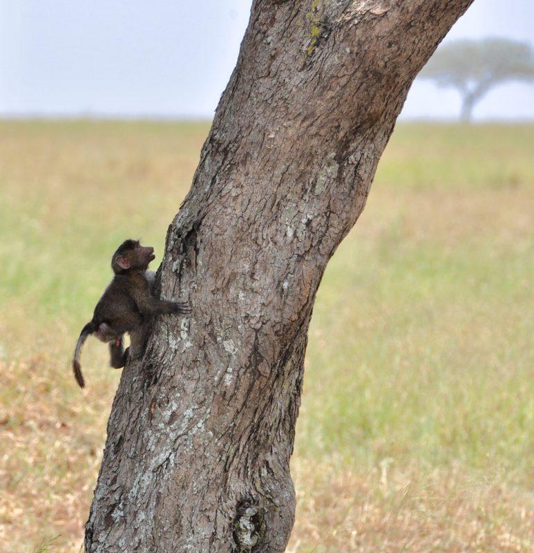 mláďa opice - učia sa rýchlo