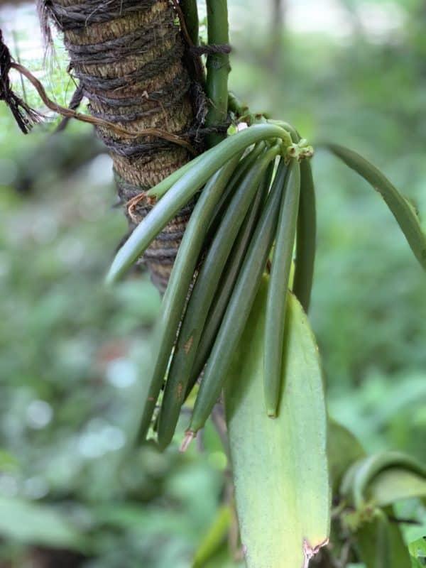 zelený vanilkový lusk
